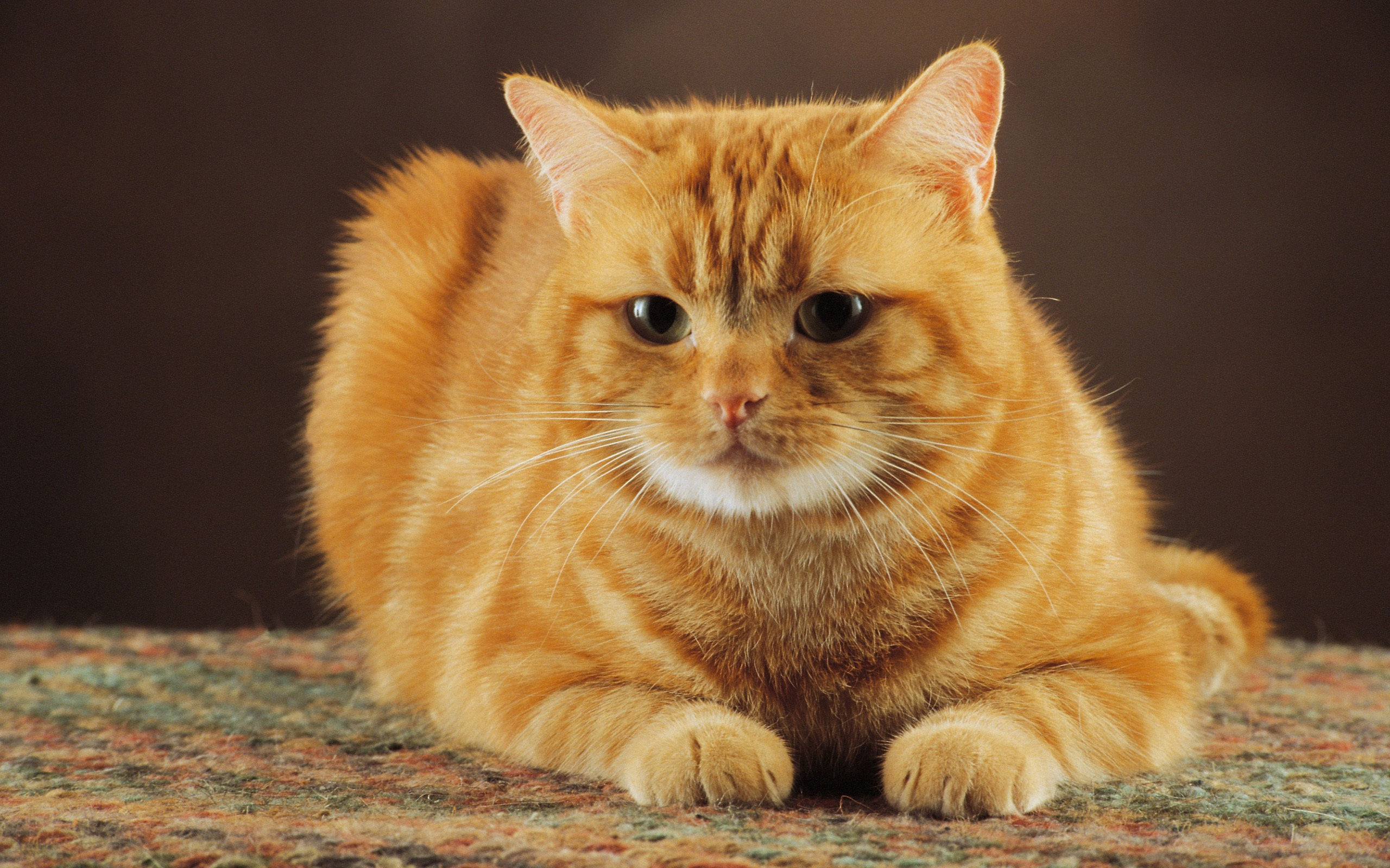 the-obedient-of-orange-color-cat-wide-hd-wallpaper-download-free
