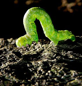 19161-inchworm.jpg