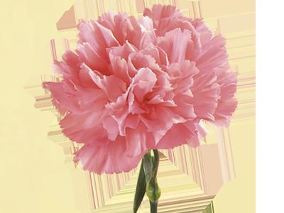 carnation.png