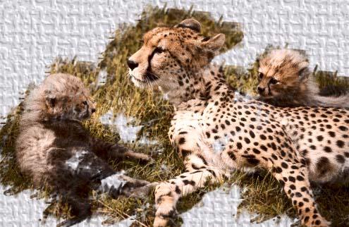 Cheetahs2-3