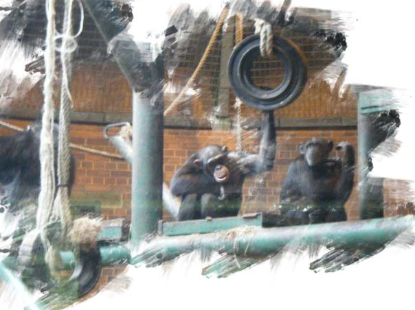 chimpanzees2