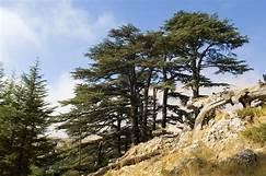 Cedartree.jpg