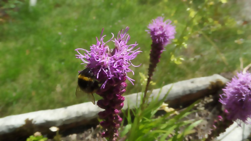 Bumblebee on a purple flower, taken with a bokeh lens, slightly out of focus so attention drawn to the bumblebee