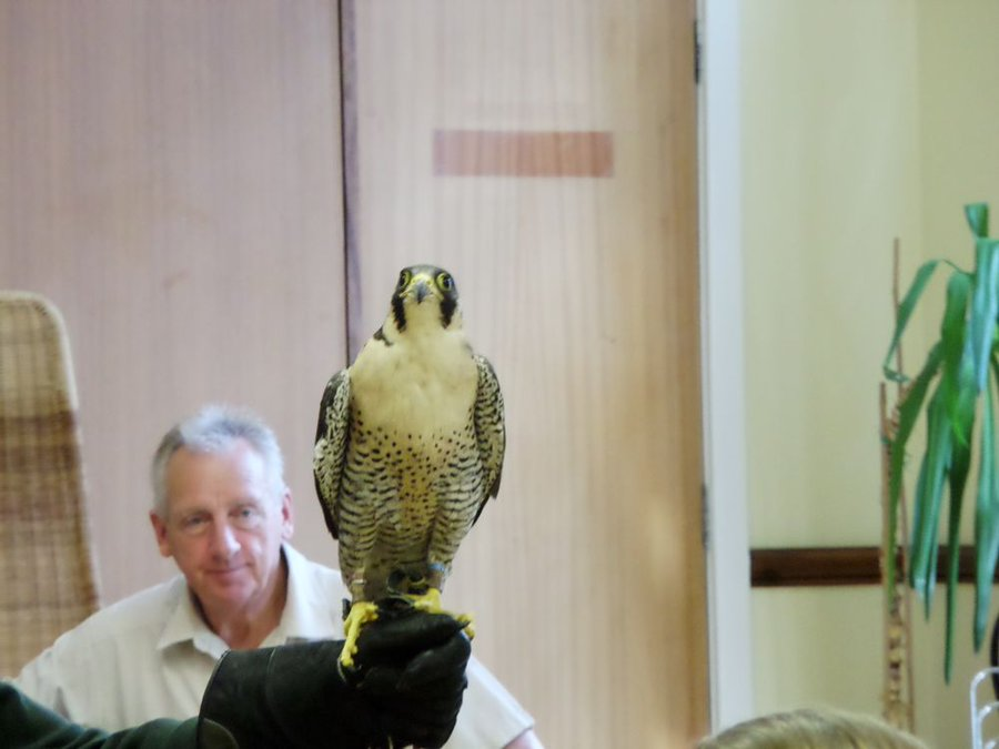picture of a falcon