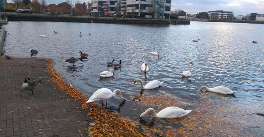 Ducks and Geese on Salford Quays